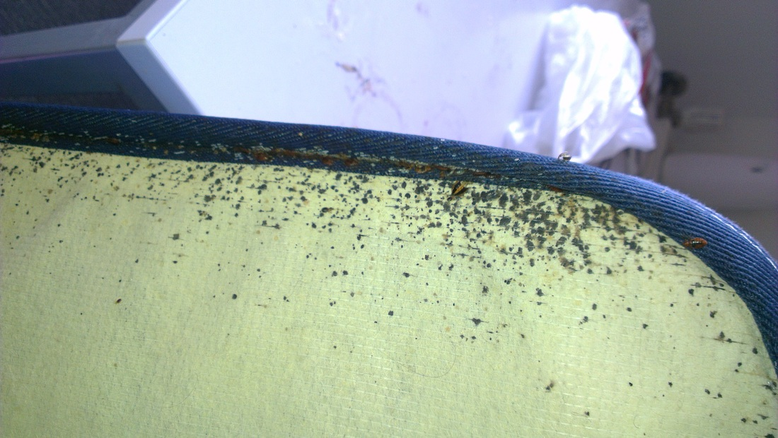 Heavy infestation of Bed Bugs on the bottom of the mattress, including Adults, Nymphs and Eggs Darlinghurst