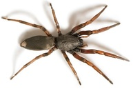 White tailed spider Pest control Sydney
