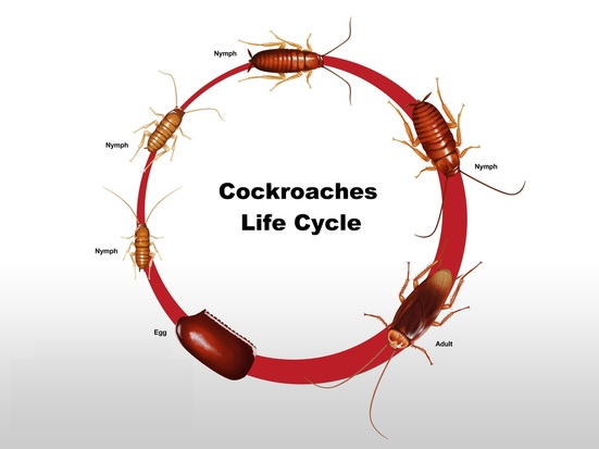Drummoyne cockroaches live cycle