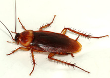 Cockroach Pest Control eastern suburb