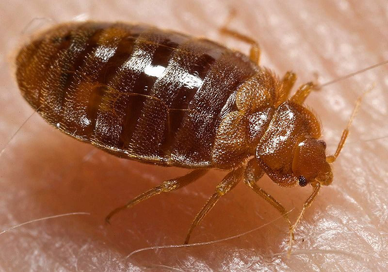 Adult Bed Bugs Pyrmont