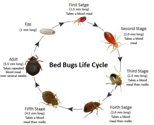 Bed bugs life cycle