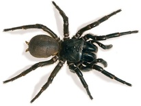 Spider Pest Control eastern suburb